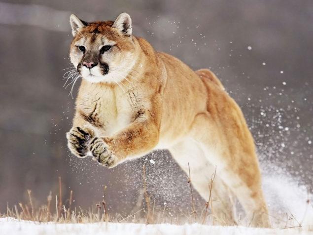 AMD Puma Core Architecture