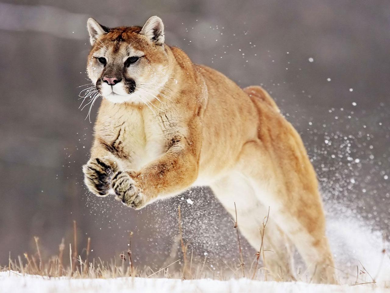 puma vs jaguar