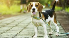 beagle-on-leash-no-humans